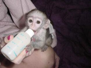 Capuchin monkeys for sale!