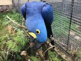 Hyacinth macaws (pair)
