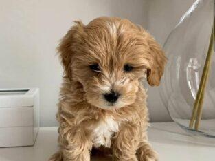 Beautiful Maltipoo Puppies +306947300203