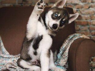 Gorgeous Siberian Husky Puppies . +306947300203
