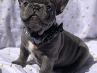 Beautiful black bulldog Puppy Available