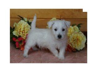 Stunning West Highland White Terrier Babies